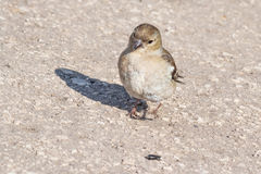 Sparrow wants to eat (look at) seed. Royalty Free Stock Photography