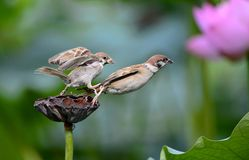 The sparrow war. Two sparrows sold for food fight stock photos