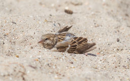 Sparrow washing in sand Stock Photography