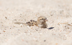 Sparrow washing in sand Stock Photo