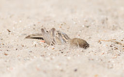 Sparrow washing in sand royalty free stock image