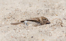 Sparrow washing in sand Royalty Free Stock Photos