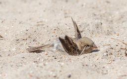 Sparrow washing in sand stock photos