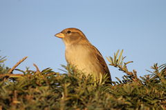 Sparrow watching away Royalty Free Stock Images