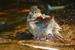 Sparrow in the water Royalty Free Stock Images