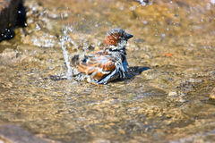 Sparrow in water. Sparrow washing his feathers in water. Bright sunny day Royalty Free Stock Photography