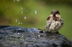 Sparrow on water fountain. Sparrow sat on water fountain with sprinkling water stock photos