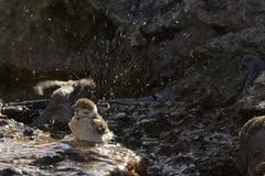 Sparrow in water Royalty Free Stock Image