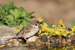 Sparrow at water. Sparrow perched on rocks near the water and to drink Royalty Free Stock Photo
