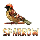 Sparrow watercolor hand drawn illustration isolated on white  Royalty Free Stock Photo