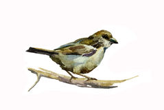 Sparrow watercolor. On white background originl bird illustration Stock Photography