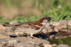 Sparrow at watter. Sparrow ready to drink water, but is cautious Royalty Free Stock Photo