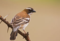 Sparrow-weaver Royalty Free Stock Photography