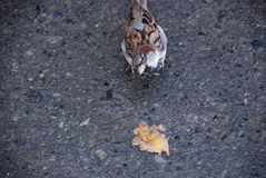 The sparrow on the wet ground eats rotten fruit in the autumn surrounded by seeds royalty free stock photography