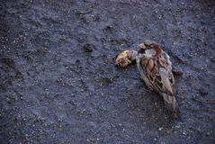 The sparrow on the wet ground eats rotten fruit in the autumn surrounded by seeds. The male sparrow on the wet ground eats rotten fruit in the autumn surrounded stock image