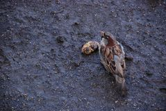 The sparrow on the wet ground eats rotten fruit in the autumn surrounded by seeds stock photos
