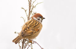 Sparrow on white background Royalty Free Stock Image