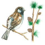 The sparrow on white background. The sparrow with pine branches .Watercolor vector illustration on white background Stock Photography