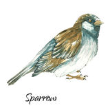 The sparrow on white background. The sparrow .Watercolor vector illustration on white background Royalty Free Stock Photography