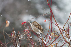 Sparrow in the winter. Sparrow sitting on a branch in the cold winter weather stock photo
