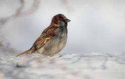 Sparrow in winter Stock Photography