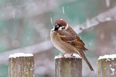 A Sparrow in winter Stock Image