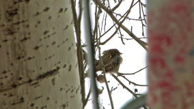 Sparrow in winter. Close-up sparrow at the branch in winter stock footage