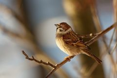 Sparrow in winter day. The bird sparrow sits on a mountain ash branch in winter day Stock Photography