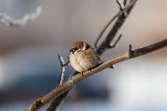 Sparrow in winter day. The bird sparrow sits on a mountain ash branch in winter day Stock Image