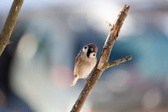 Sparrow in winter day. The bird sparrow sits on a mountain ash branch in winter day Royalty Free Stock Images