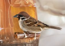 Sparrow in winter day. The bird sparrow sits on a mountain ash branch in winter day Royalty Free Stock Photography