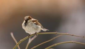 Sparrow winter morning stock photos