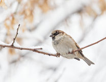 Sparrow winter nature Royalty Free Stock Photo