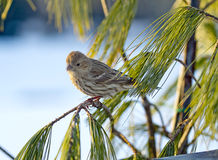 Sparrow in Winter Perched on Branch. Small sparrow during winter time rests on pine tree branch Stock Image