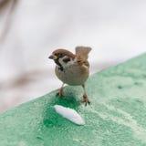 Sparrow in winter Stock Photos
