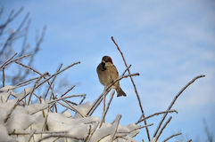 Sparrow on a winter tree Royalty Free Stock Photography