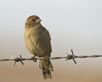 Sparrow on Wire. House sparrow on barbed wire royalty free stock images