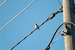 Sparrow on a Wire. A single sparrow on a power line wire Stock Photography