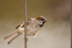 Sparrow on a wire fence Stock Image