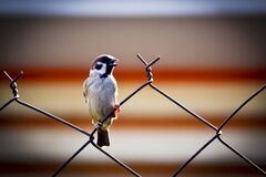 Sparrow on wire fence Stock Images