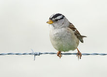 Sparrow on a wire fence Stock Photography