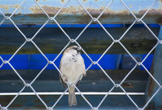 A sparrow Royalty Free Stock Images
