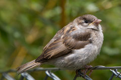 Sparrow on wire mesh fence Royalty Free Stock Photos