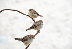 Sparrow on wire Royalty Free Stock Images