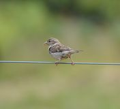 Sparrow on a wire. A sparrow sitting on a wire Stock Image