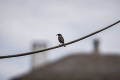 Sparrow on the wire royalty free stock image