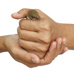 Sparrow in woman hand. Young sparrow held in woman hands isolated on white background Royalty Free Stock Photo