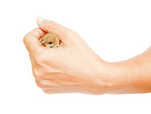 Sparrow In Woman Hand. Sparrow held in Thai woman hand isolated on white background Stock Photography