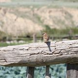 Sparrow on wooden fence Stock Image