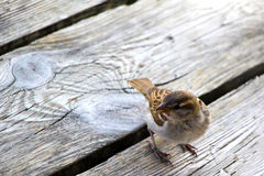 Sparrow on Wooden Planks Stock Photography